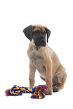 puppy of a great dane and his toy poster
