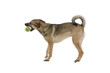 mixed breed dog playing with a tennis ball