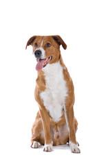 austrian pinscher dog sticking out tongue