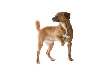 austrian pinscher dog with a paw raised
