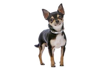 chihuahua dog standing still and staring forward