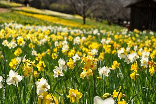 Fototapeten Narzisse Field of Yellow and White Daffodils