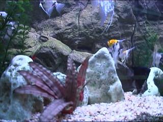 decorative fish inside aquarium
