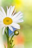 daisy detail s barevné pozadí