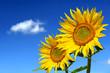Sonnenblumen 105