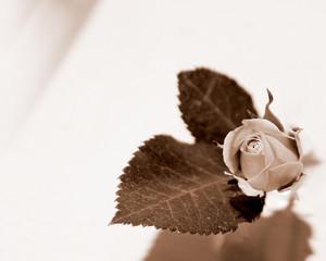 Rosebud in Sepia