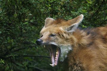 maned wolf, chrysocyon brachyurus