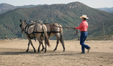 Teamwork - Hand Driving the Mules