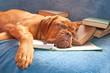 tired dog asleep