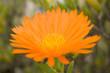 beautiful Orange flower macro with some blur