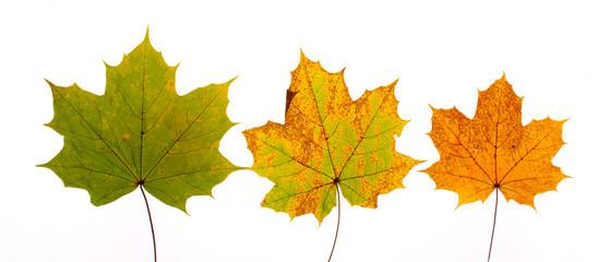 Herbstlaub Ahornblätter  © Matthias Buehner