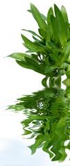 bouquet de jeunes agaves, fond blanc
