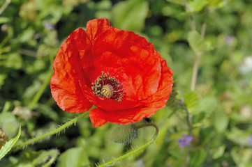 One Red Poppy and An Unopened Bud