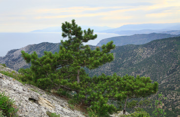pine tree on summer mountain hill (Crimea, Ukraine)