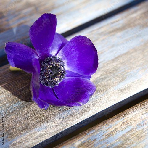 dark blue Anemone on blue table