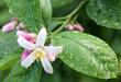 fleur citronnier