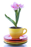 growing tulip in a cup
