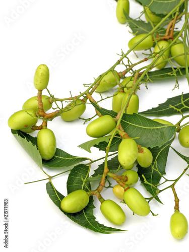 neem, lilas des Indes, plante médicinale, fond blanc