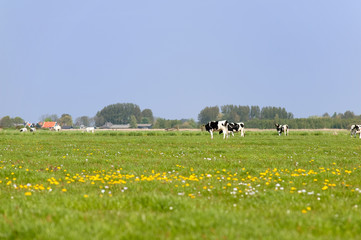 Dutch cows in the meadows