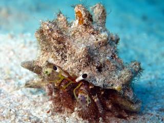 Reef hermit crab