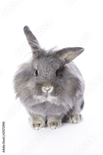 Grey leon-head dwarf rabbit