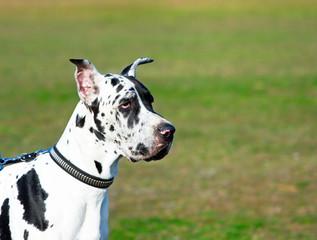 Great dane dog portrait.