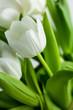 obraz - White Tulips