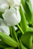 Fototapety White Tulips