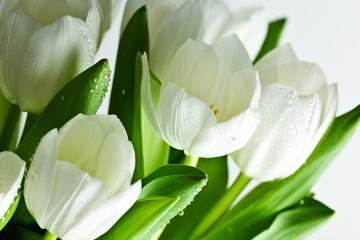 Fototapeta białych tulipanów