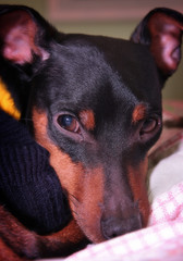 Miniature Pinscher closeup