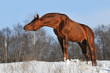 chestnut stallion portrait in winter