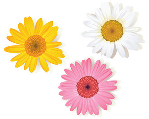 colorful daisy flowers on white