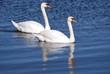 Fototapeten,swans,see,teich,rivers