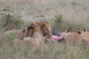 Group of lions laying in high grass (Masai Mara National Park).
