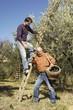 padre e figlio che raccolgono le olive