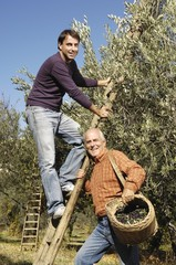 padre e figlio alla raccolta delle olive