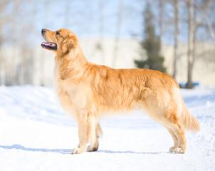 Golden retriever standing on the snow