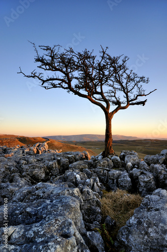 lone tree on limestone outcrop at sunset