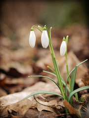 Snowdrops - Galanthus nivalis
