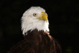 portrait of the american bald eagle