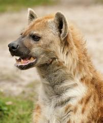 Alert Hyena