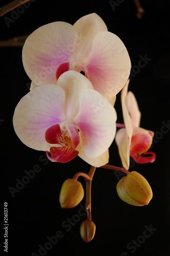 Fototapeta orchidee - kwiat - Roślinne