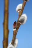 Pussy-willow (Salix) poster