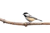 profile of a chickadee perched on pine branch