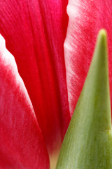 macro image of red tulip with green stem