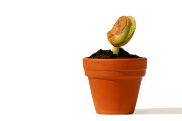 Bohnenpflanze im Topf