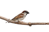 full profile of sparrow holding a sunflower seed in its beak poster