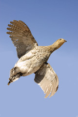 sharp-tailed grouse (tympanuchus phasianellus) in flight