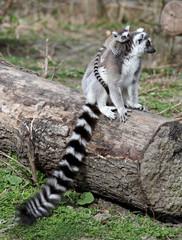 Ring tailed lemur family, zoo, Vienna