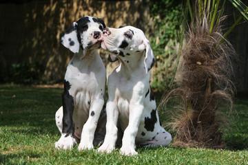 deux jeunes dogues allemand se câlinant tendrement